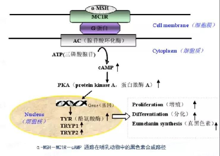 Detailed explanation of Ninepeptide-1